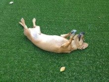 犬も喜ぶリアル人工芝エクスターフ